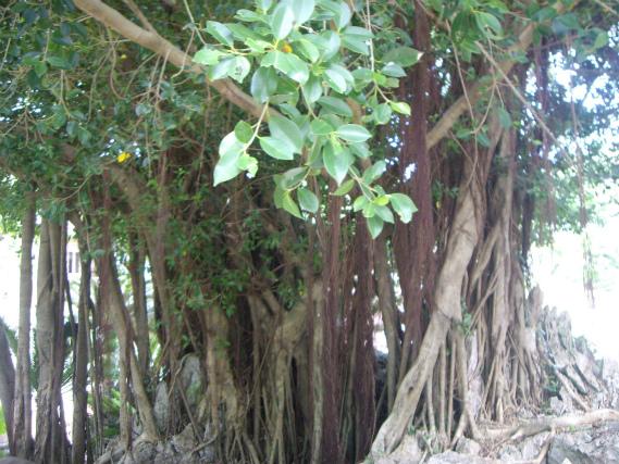 沖縄のガジュマルの木
