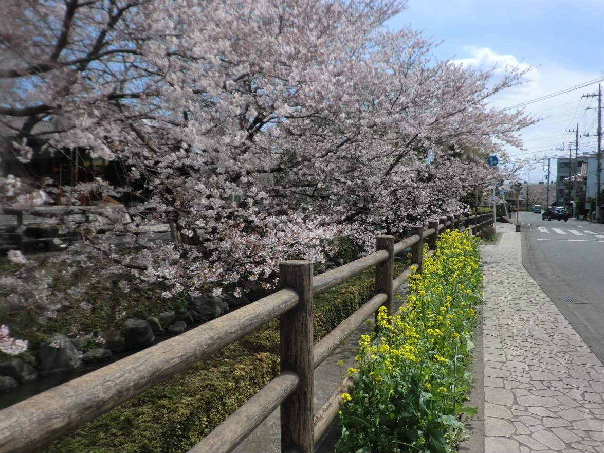 二ヶ領用水に連なる桜並木