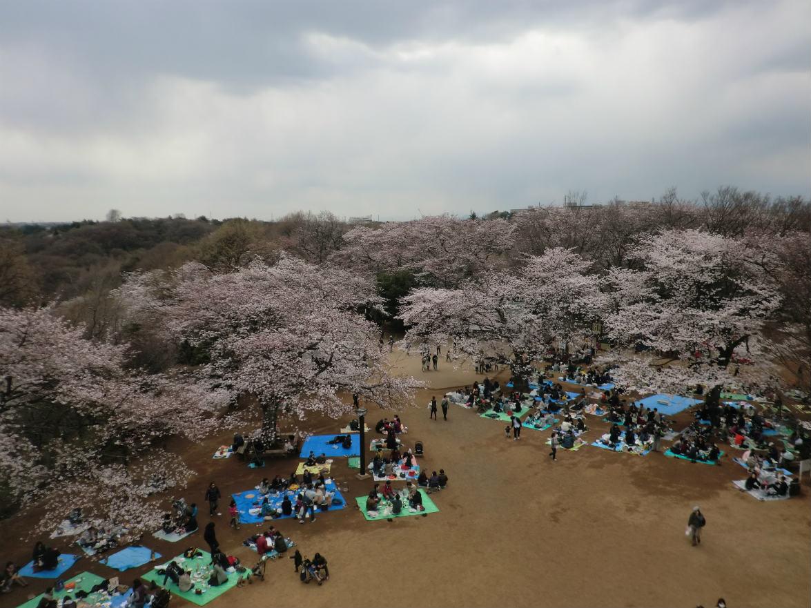 生田緑地の展望台から見える桜